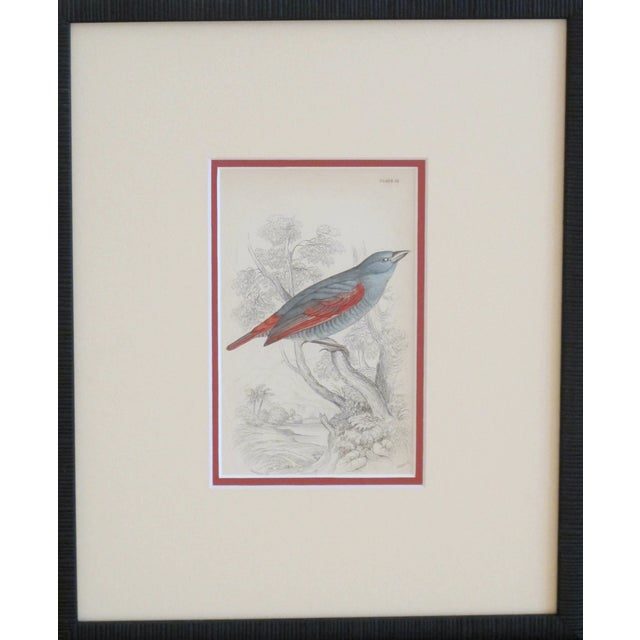 Image of RESERVEDFramed Vintage Bird Print - C.1850/Redwing