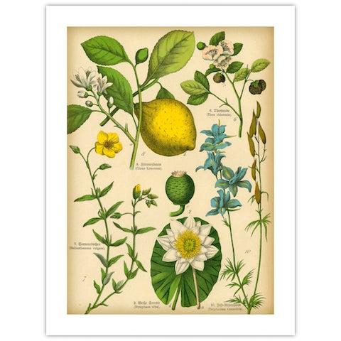 Antique 'Lemon Botanical' Archival Print - Image 4 of 4