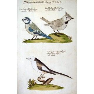 Song Birds Engraving 1733