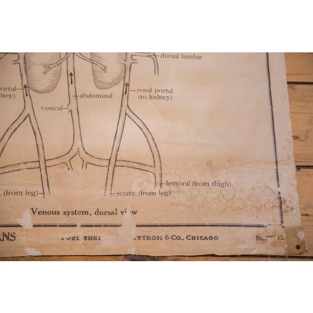 Image of Pull Down Chart of Frog Circulatory System