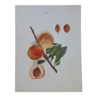 Agricultural Guide Hynes Peaches Lithograph