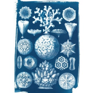 Ernst Haeckel Inspired Coral Cyanotype Print