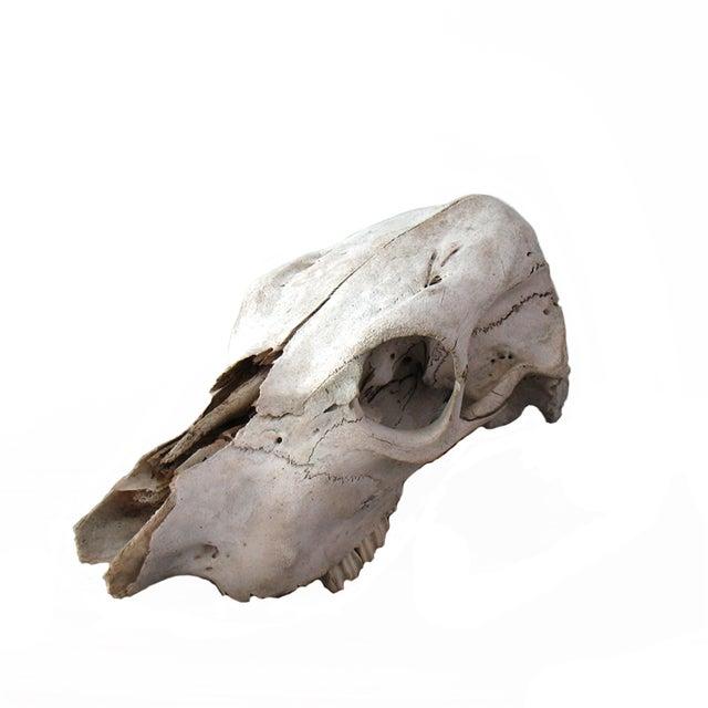 Image of Vintage Cow Skull