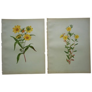 Antique Botanical Lithographs - A Pair