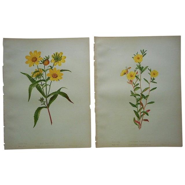 Image of Antique Botanical Lithographs - A Pair