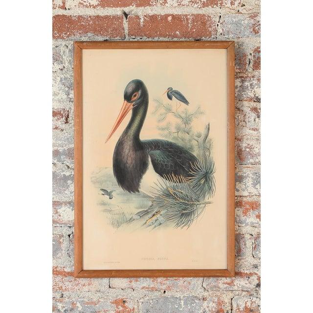 "John Gould ""Ciconia Nigra-Black Stork"" Bird Print - Image 2 of 7"