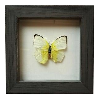 Framed Butterfly Pieridae