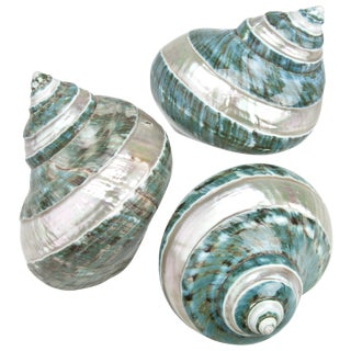 Polished Jade Turbo Shells - Set of 3