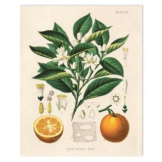 Botanical Orange Citrus Fruit Print Poster