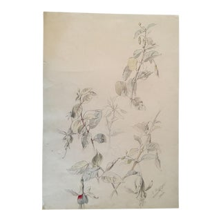 Original Antique Botanical Drawing or Study of Fuchsia Flowers in Pencil and Watercolor