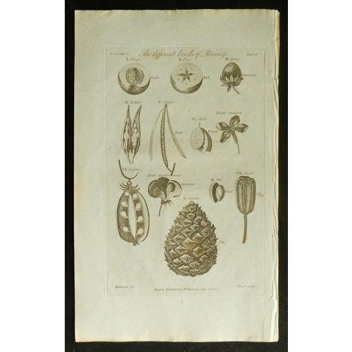 Image of 1812 Antique British Flora Pericorp Print