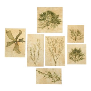 Blackwell Botanicals Pressed Natural Green Seaweed - Set of 7