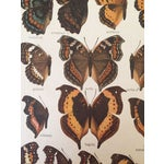 Image of 1910 Butterfly Specimen Lithograph