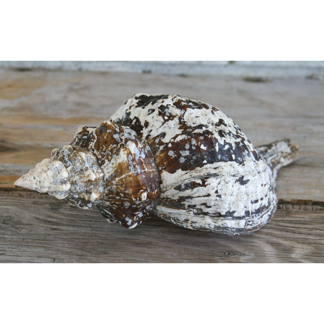 Large Horse Conch Shell - Image 4 of 5