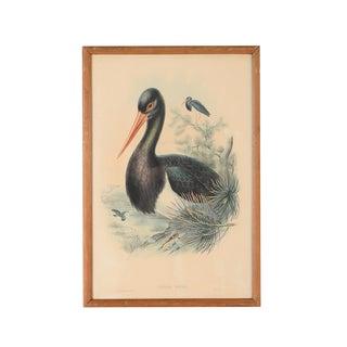 "John Gould ""Ciconia Nigra-Black Stork"" Bird Print"