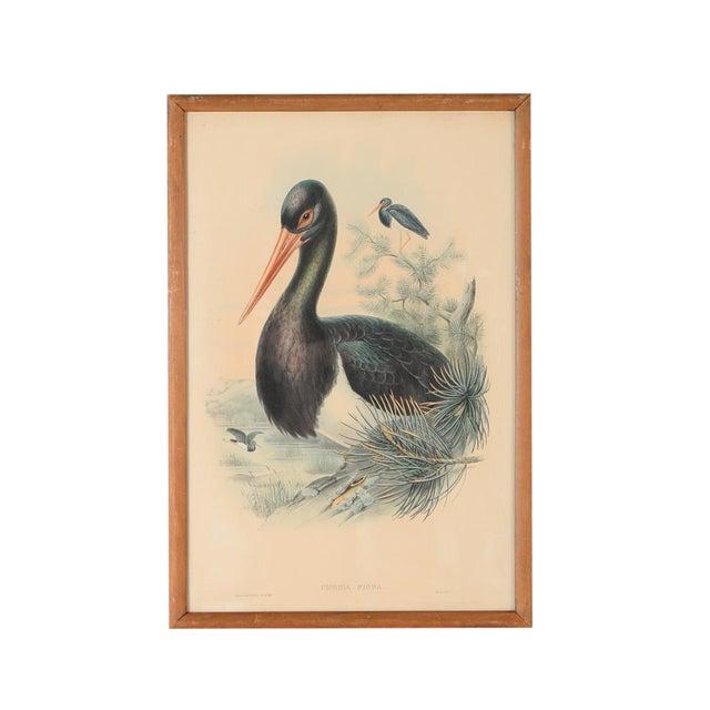 "John Gould ""Ciconia Nigra-Black Stork"" Bird Print - Image 1 of 7"