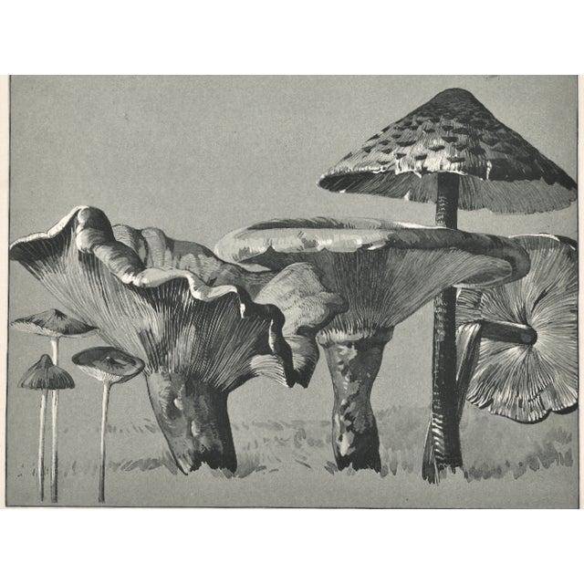 Image of 1904 French Botanical Mushrooms Lithograph