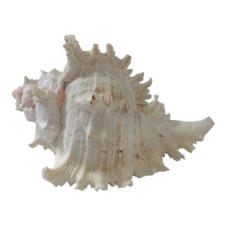 Unique Spiky Conch Shell