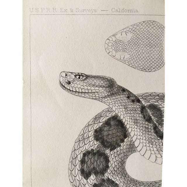 Antique California Rattlesnake Lithograph - Image 5 of 6