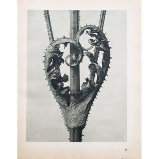 Blossfeldt 2-Sided Photogravure N41-42