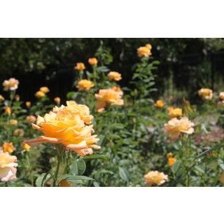Yellow Roses Photograph by Josh Moulton