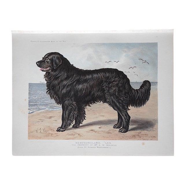 Antique Dog Lithograph - Newfoundland - Image 1 of 5