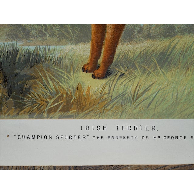 Antique Dog Irish Terrier Lithograph - Image 4 of 4