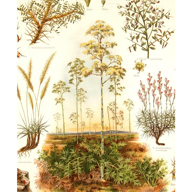 Semi-Arid Plants Antique Lithograph C. 1885 - Image 2 of 3