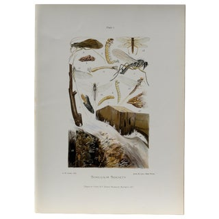 Simulium Flies Print, Circa 1900