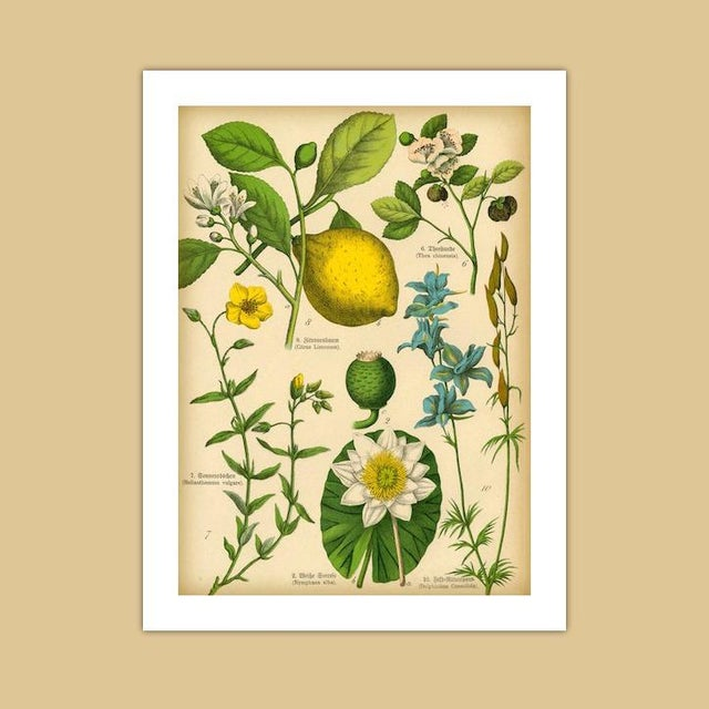 Antique 'Lemon Botanical' Archival Print - Image 3 of 4
