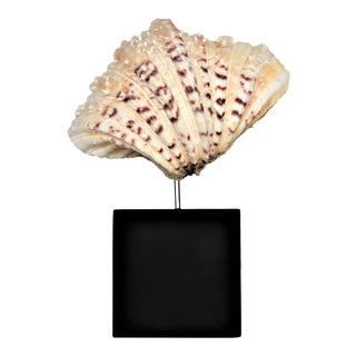 Vintage Natural Ivory Clam Sea Shell on Black Wood Base Nautical Mid Century Modern MCM Organic