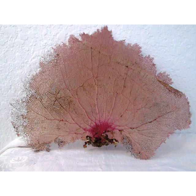 Image of Purple Bahamian Sea Fan