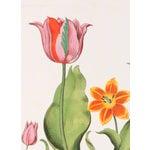 Image of Tulip Botanical Ii, Basilius Besler Print
