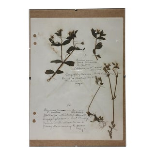 Vintage Chickweed Botanical Journal Page