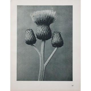 Karl Blossfeldt Double Sided Photogravure N85-86