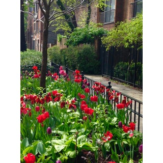 Tulips in Lincoln Park Photograph by Josh Moulton