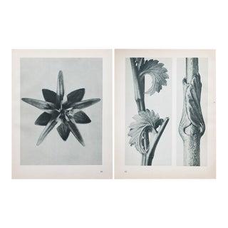 Karl Blossfeldt Double Sided Photogravure N61-62