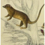 Image of Vintage Monkey Print Engraving, 1853