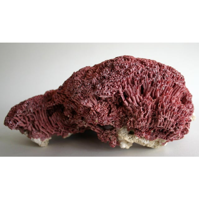 Red Pipe Organ Sea Coral Specimen - Image 3 of 3