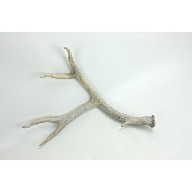 Naturally-Shed Weather-Worn Large 5-Point Antler - Image 3 of 4