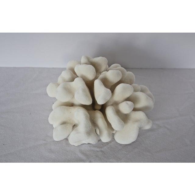 Image of Natural Elkhorn Coral Specimen