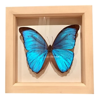 Blue Monarch Butterfly Mounted Shadowbox Art