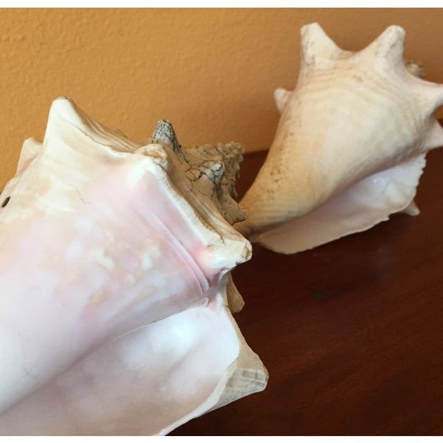 Vintage Queen Conch Shells - A Pair - Image 4 of 11