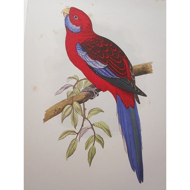 Antique Parakeet Lithograph - Image 4 of 4