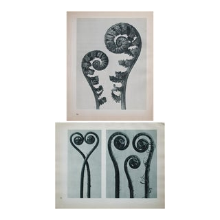Karl Blossfeldt Double Sided Photogravure N49-50