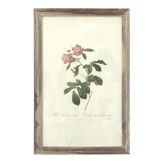 Antique Botanical Rose Print