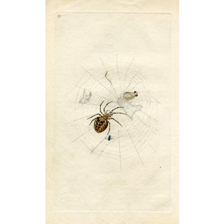 1793 White Cross Spider
