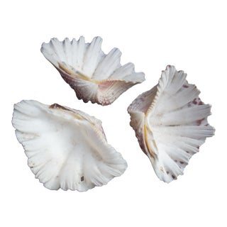 Natural Cockle Seashells- Set of 3