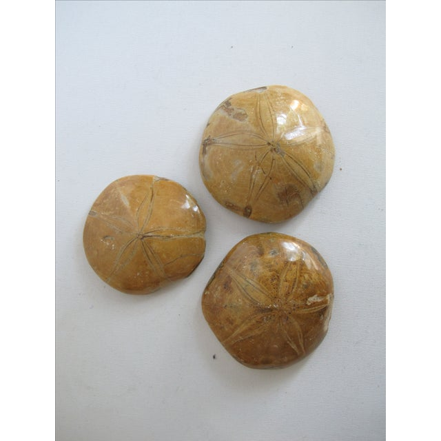 Fossilized Sand Dollars - Set of 3 - Image 3 of 5