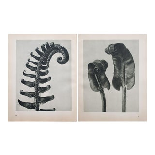 Karl Blossfeldt Double Sided Photogravure N33-34